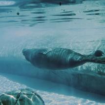 Indianapolis Zoo Walrus